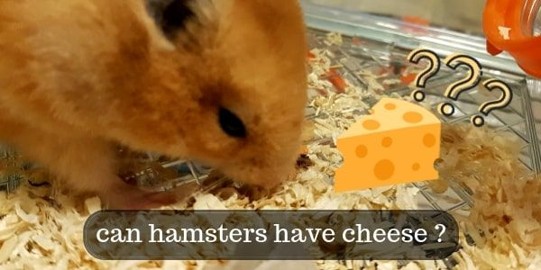 Can Hamsters Eat Cheese ? Are The Cartoons Right