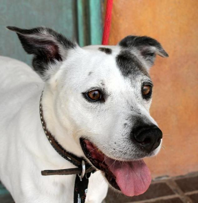 Adopt Mac on Dogs, Labrador retriever, Labrador