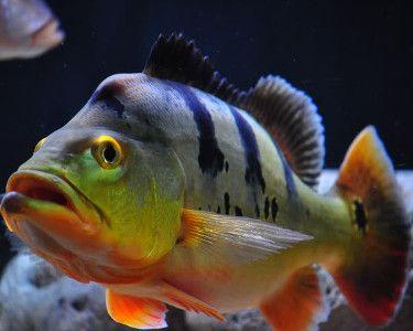 Monoculus Peacock Bass,Cichla monoculusSpecies Profile, Monoculus Peacock Bass Care Instructions, Monoculus Peacock Bass Feeding and more.::Aquarium Domain.com