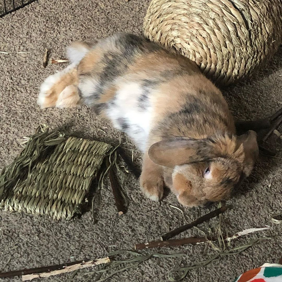 """Wendy E. Ramsay on Instagram: """"Jovie flopped in the middle of her favourite things. ❤️😍🐰 . . . . #bunny #bunnies #bunniesofinstagram #bunnylove #rabbit #rabbitsofinstagram"""""""