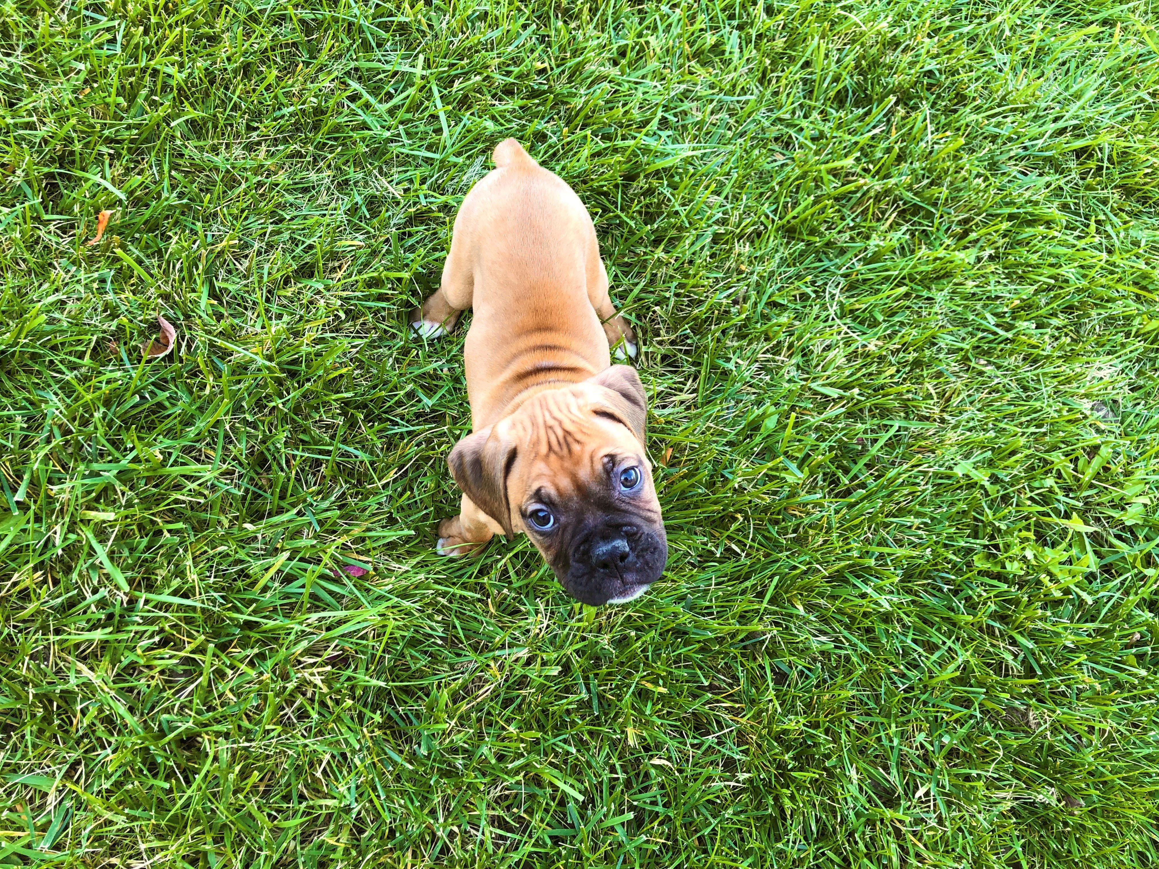 Petland Kansas City Has Boxer Puppies For Sale Check Out All Our Available Puppies Boxer Petland Puppies For Sale Boxer Puppies For Sale Puppy Friends