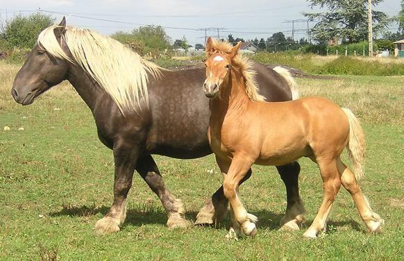 The Comtois is too cute. Notre élevage de comtois - chevaux de loisirs