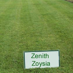 Grass Seed For Backyard Zoysia Grass Seed Zoysia Grass Grass Seed