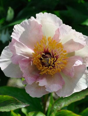 Large single white flowers are heavily flushed with peach pink as large single white flowers are heavily flushed with peach pink as they age they pale to leave a white flower filled with a large boss of yellow stamen mightylinksfo