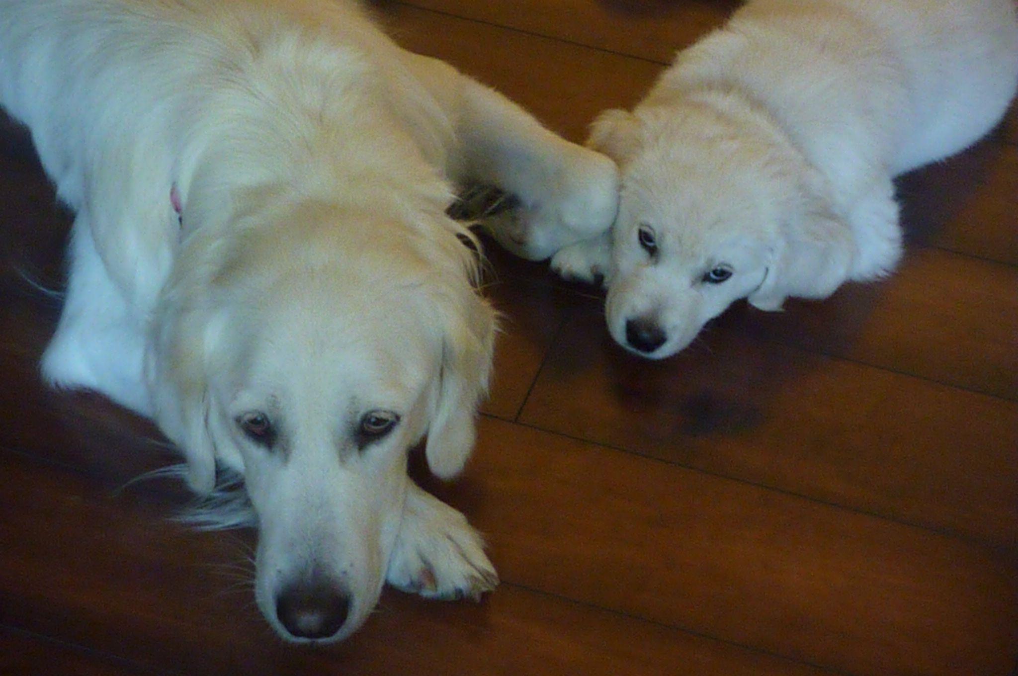 Kali & Winter Golden retriever white, Golden retriever