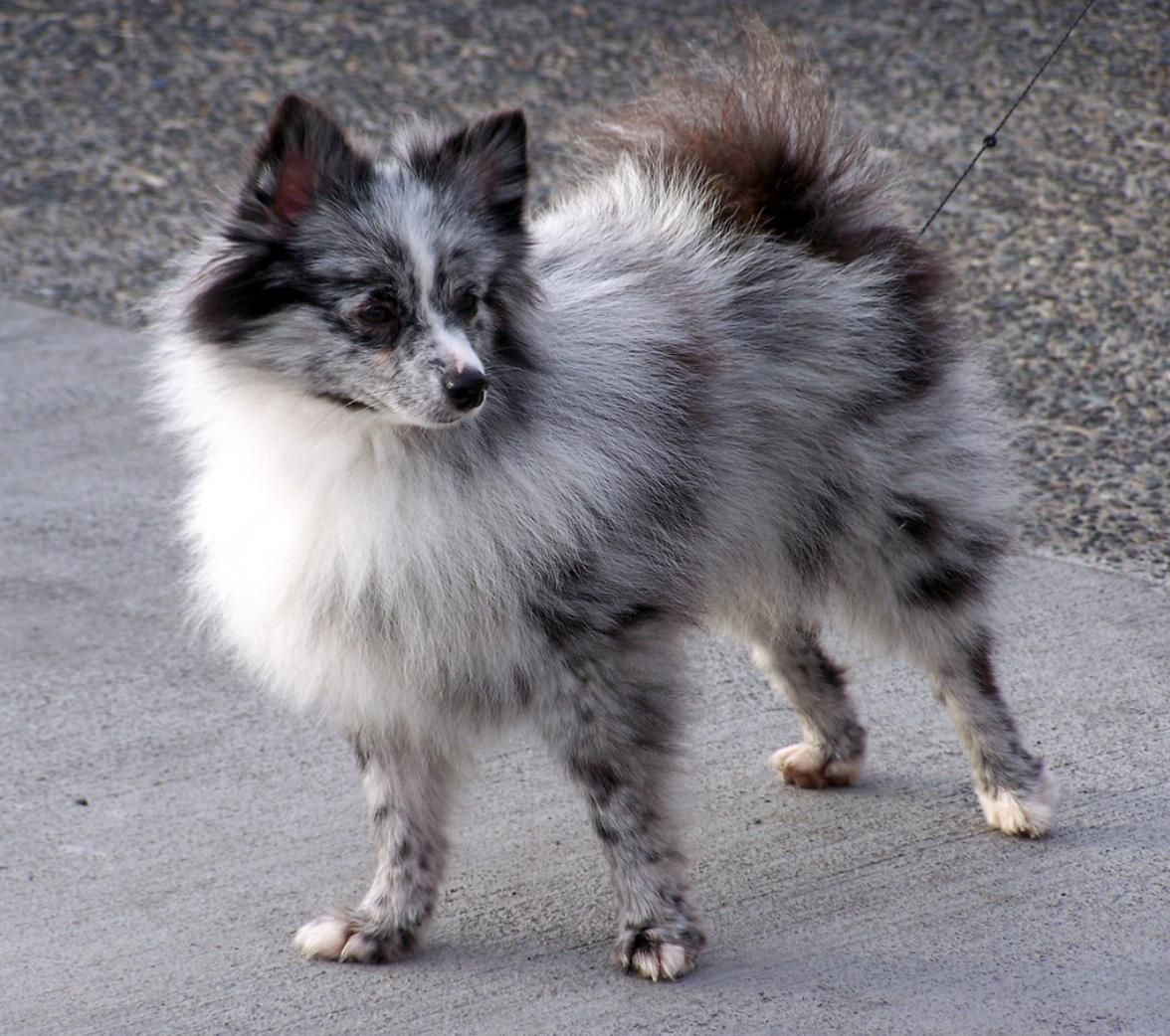 Aussie Pomeranian Mix Aussiepom Australian Shepherd Australian Shepherd Dogs Pomeranian Puppy