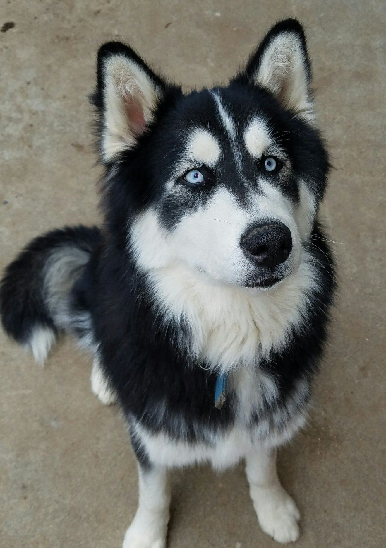 Beautiful Black And White Siberian Husky White Siberian Husky