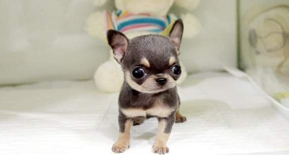 South Africa Applehead Teacup Chihuahua Puppies For Sale Teacup