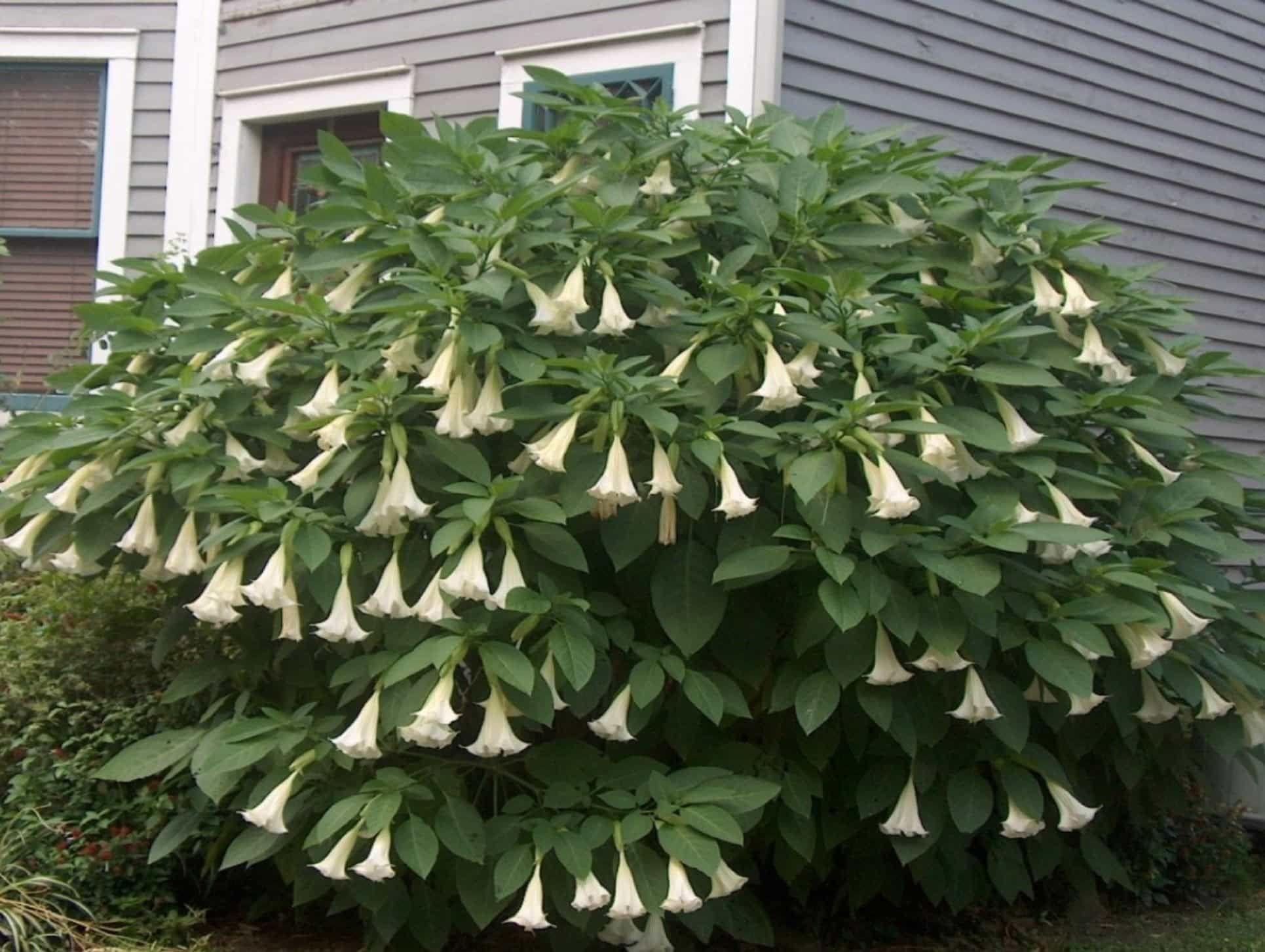 Attractive angel trumpet garden plants with images