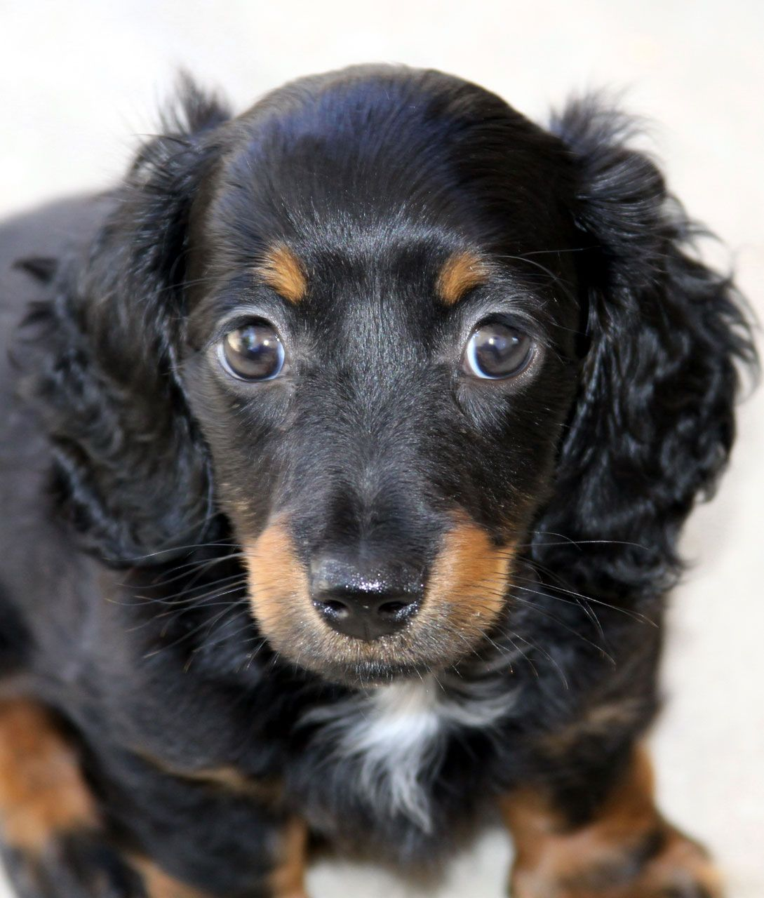 Miniature Long-Haired Doxie #Dachshund