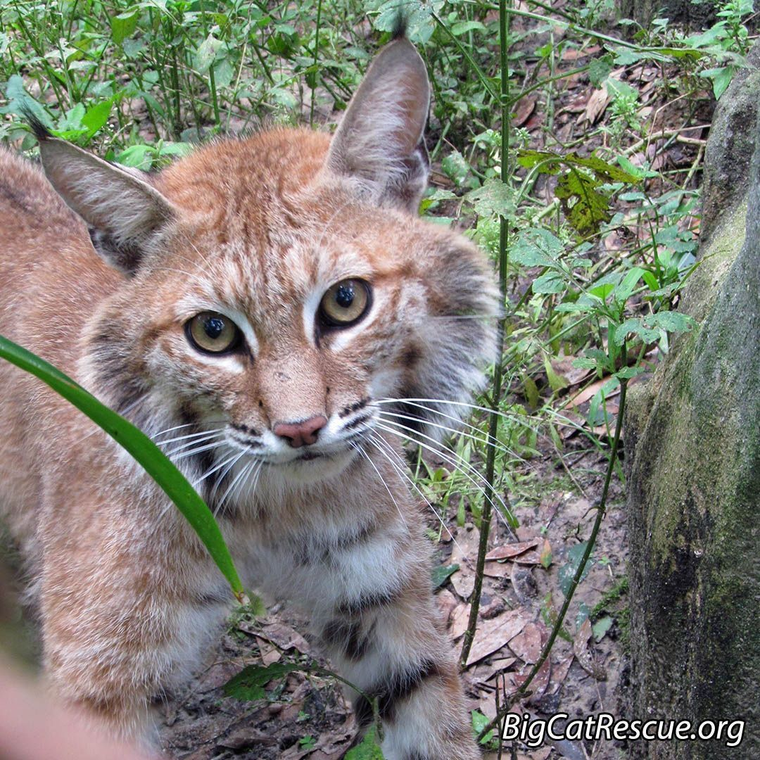 Dryden Bobcat At Big Cat Rescue In Tampa
