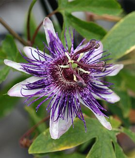 Passiflora 39 Indigo Dream 39 Indigo Dream Passion Flower Indigo Passiflora Passion Flower Flowering Vines