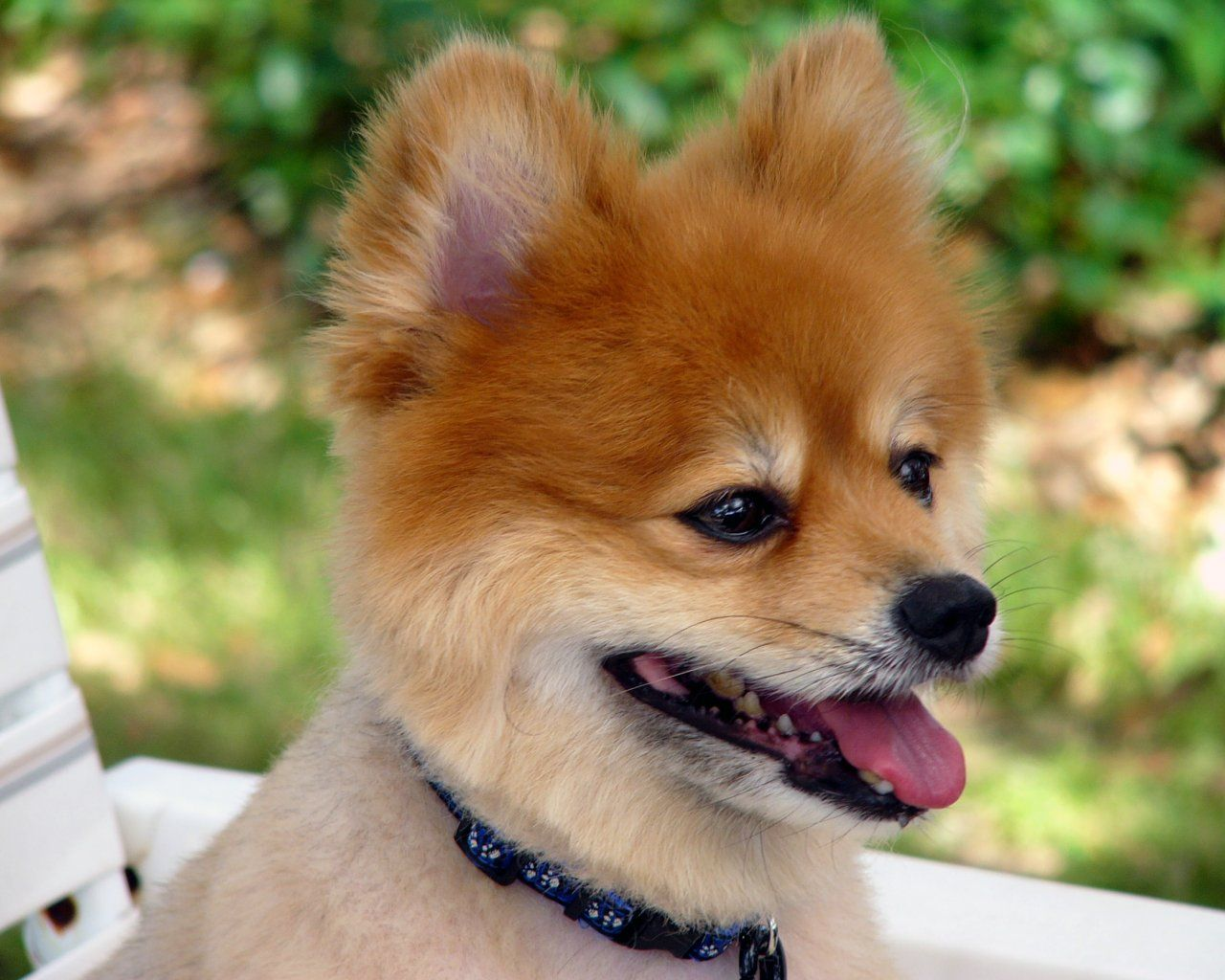 Video Clips Pomeranian Wallpapers Pictures Breed Information