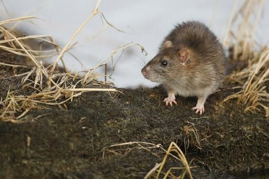 Rodents Brown Rat Rattus Norvegicus This Is The Famous Sewer
