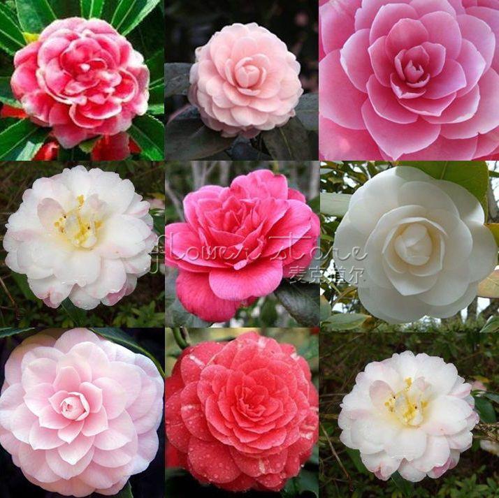 100 Double Camellia Impatiens Seeds Perennial Flower High Appreciation Tt040 Flowers Perennials Double Impatiens Flower Seeds