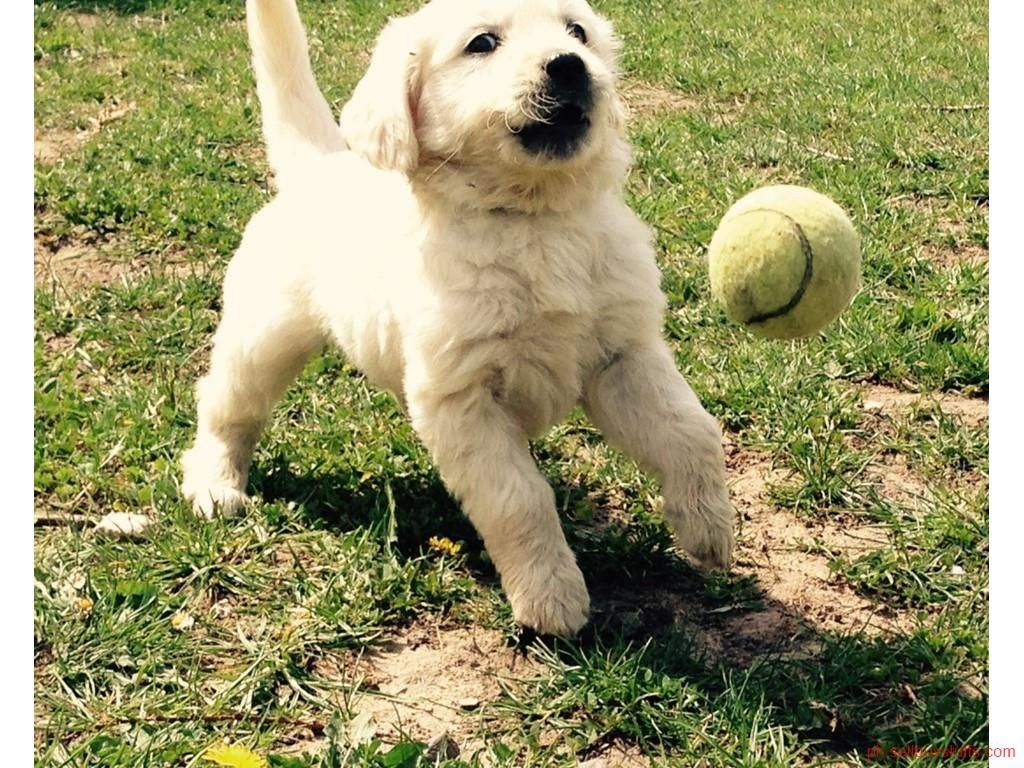 Second Hand New Beautiful Golden Retriever Puppies With Images