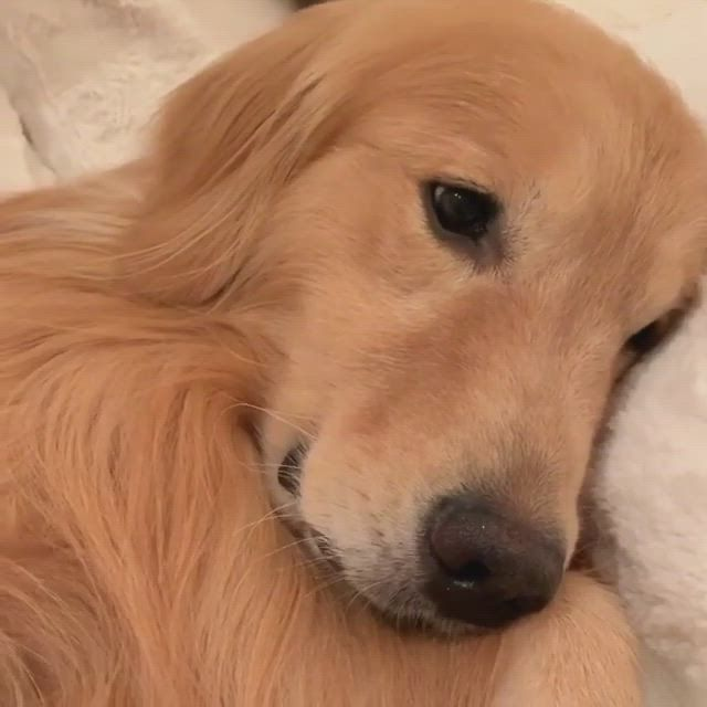 Old Golden Is Having A Nightmare, Now Watch As The Puppy Approaches