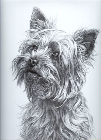 Yorkshire Dogs Gdf Galleries Animal Drawings Dog Art Dog Portraits