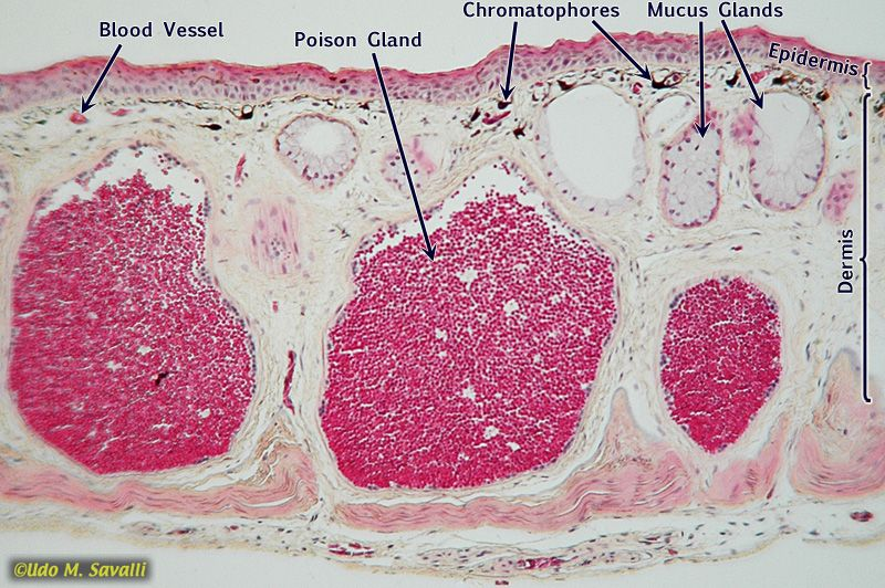 Frog Skin Cross Section Bio Pinterest Cross Section And Anatomy