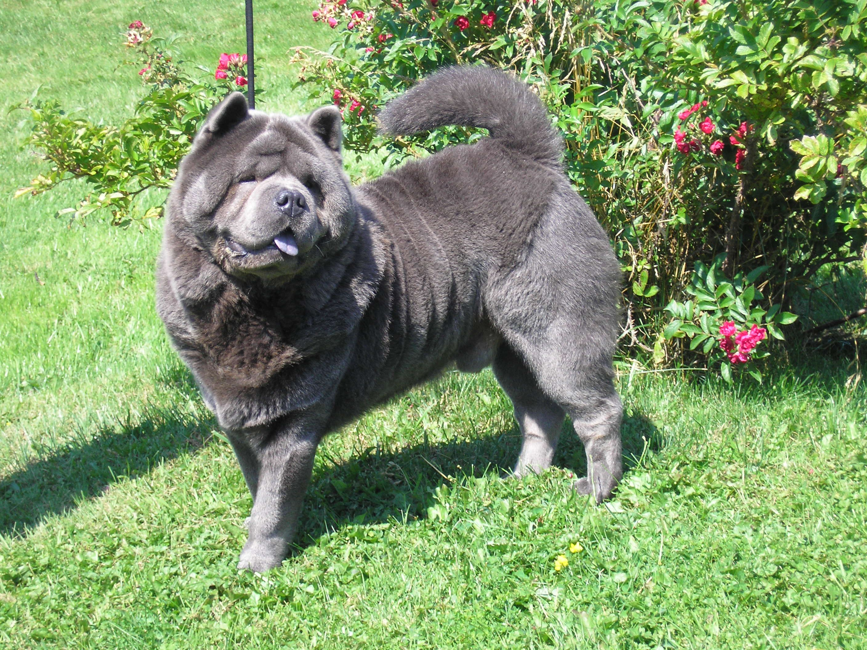 Smooth Coated Blue Chow Chow Kratkodlaki Plavi Cau Cau Rare