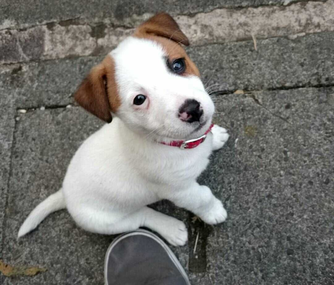 My new girl ellie jack russell x border collie dogs pinterest my new girl ellie jack russell x border collie nvjuhfo Images
