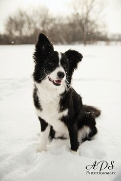 Border Collie Puppy Playing In The Snow Best Stuff Border