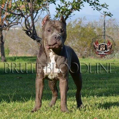 Brute Bloodline Blue Bully Pit Bulls Pitbulls Pitbull Puppies