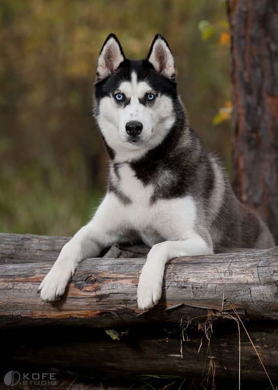 Siberian Husky Bi Eyed Like My Elvis Pet Dogs