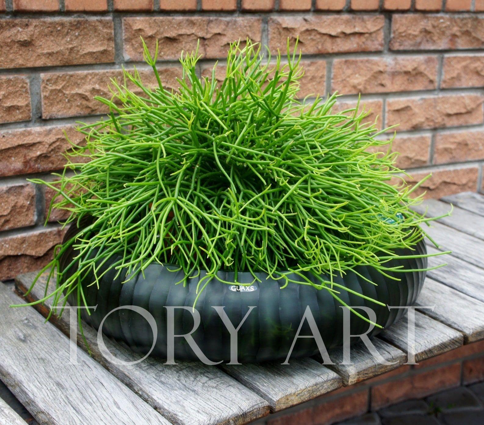 Рипсалис большой   Цветы в горшках, Комнатные растения и ...