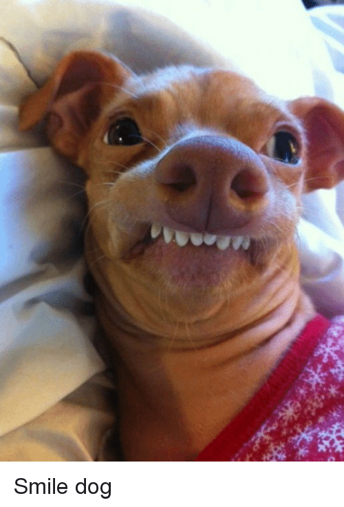 What A Precious Little Doggy Smiling Dogs Smiling Dogs Dog Showing Teeth Cute Animals