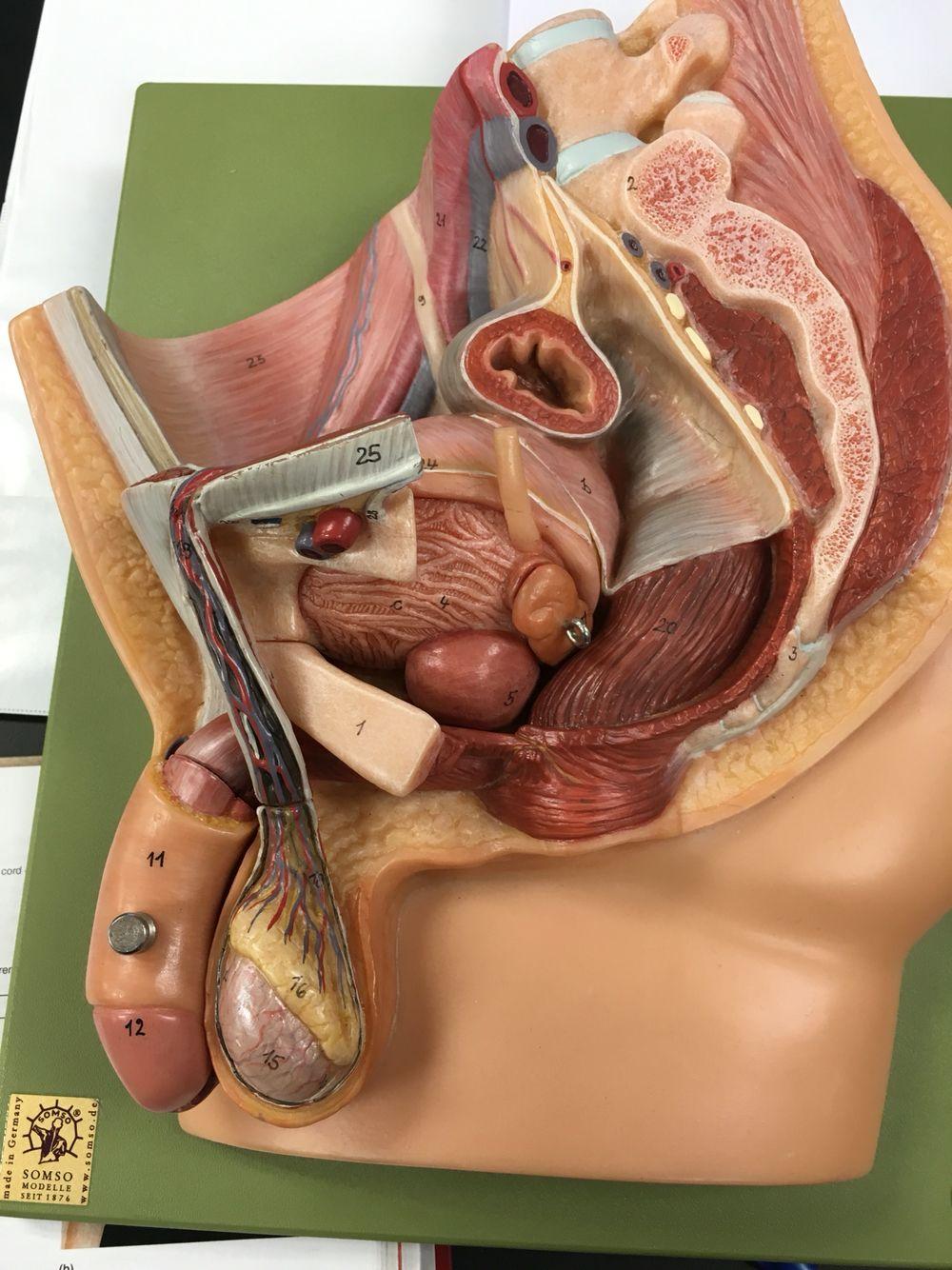 Мужские органы картинка