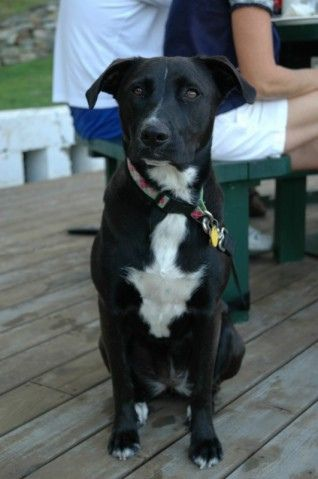 Border collie lab pitbull mix