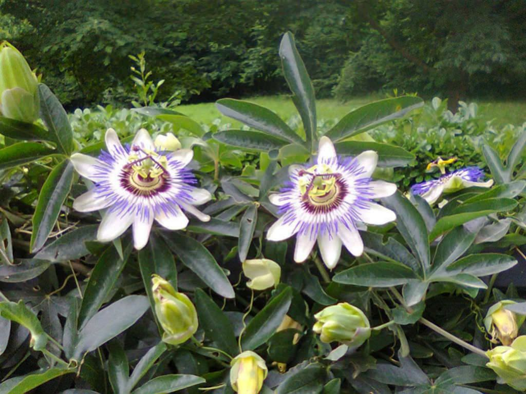 Passiflora Caerulea Blue Passion Flower With Images Passiflora Caerulea Blue Passion Flower Passion Flower