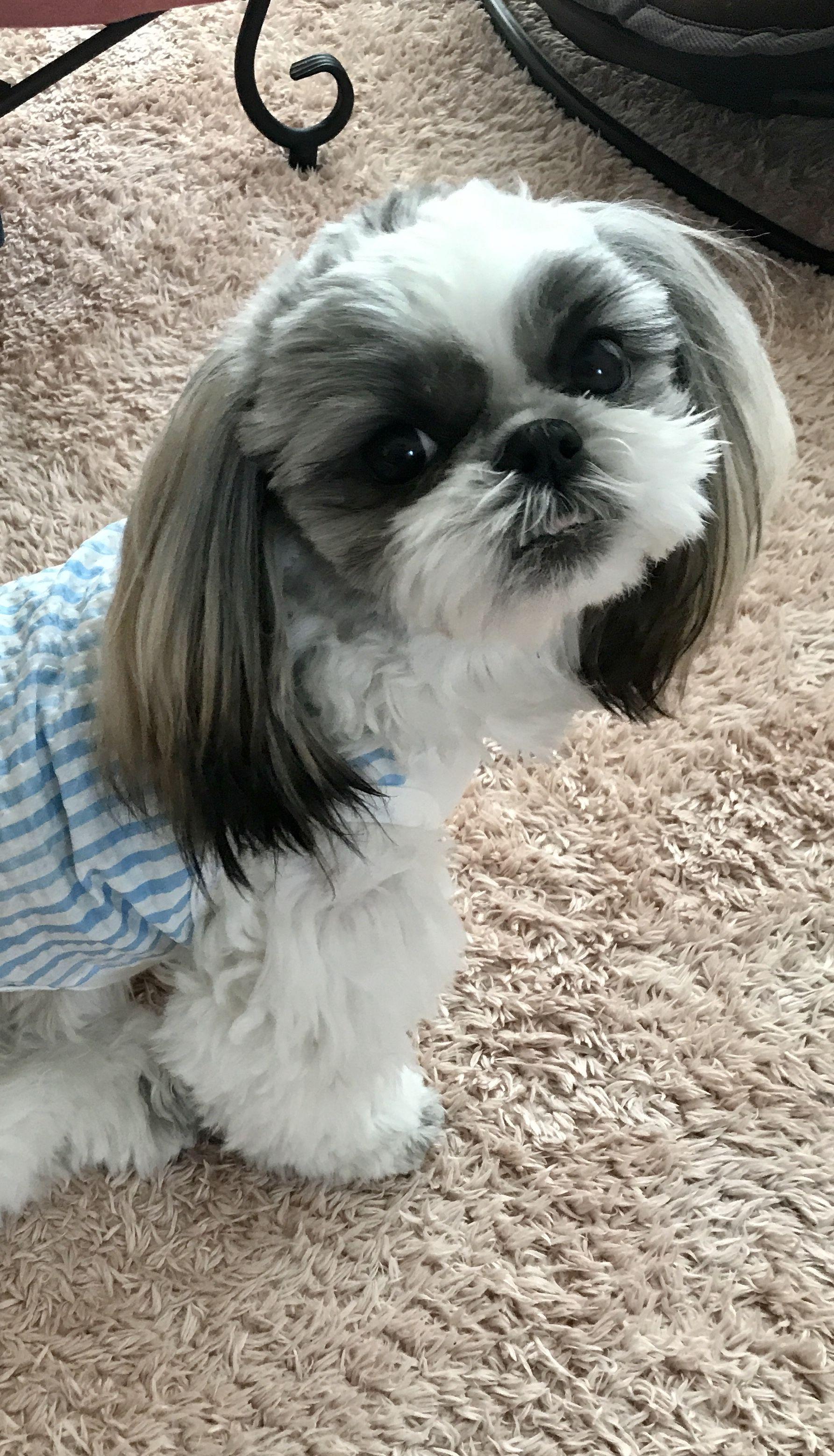 My Furbaby Sean Shih Tzu Puppy Shih Tzu Grooming Shih Tzu