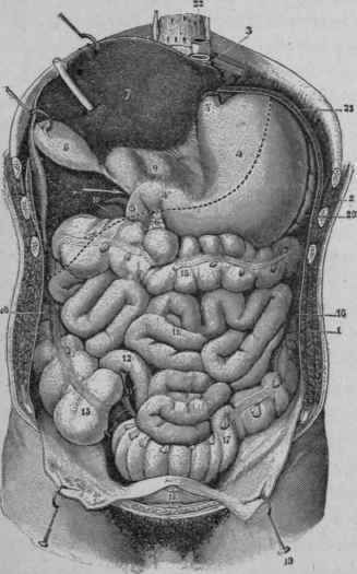 The-Intestine-as-Seen-from-the-Front-after-Removing-the-Ome.jpg (327×525)