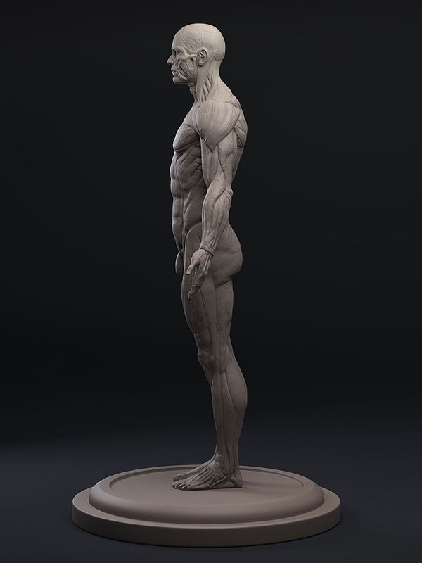 3d Total Anatomy Figure Male Anatomy References Pinterest