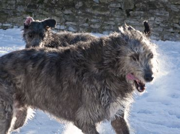 Irish Wolfhound Vs Scottish Deerhound Dog Breeds Comparison