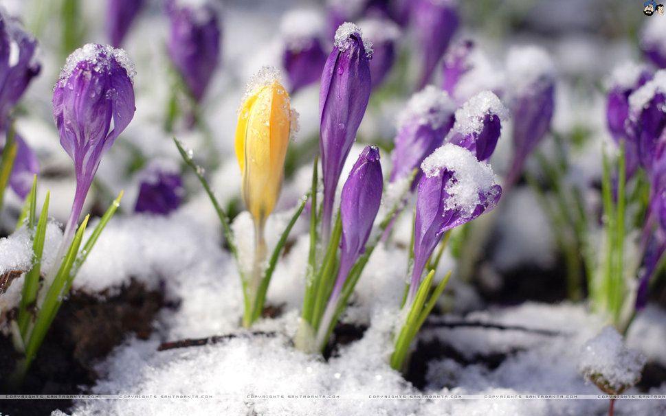 Wczesna Wiosna Tapety Na Pulpit Szukaj W Google Crocus Flower Flower Wallpaper Crocus