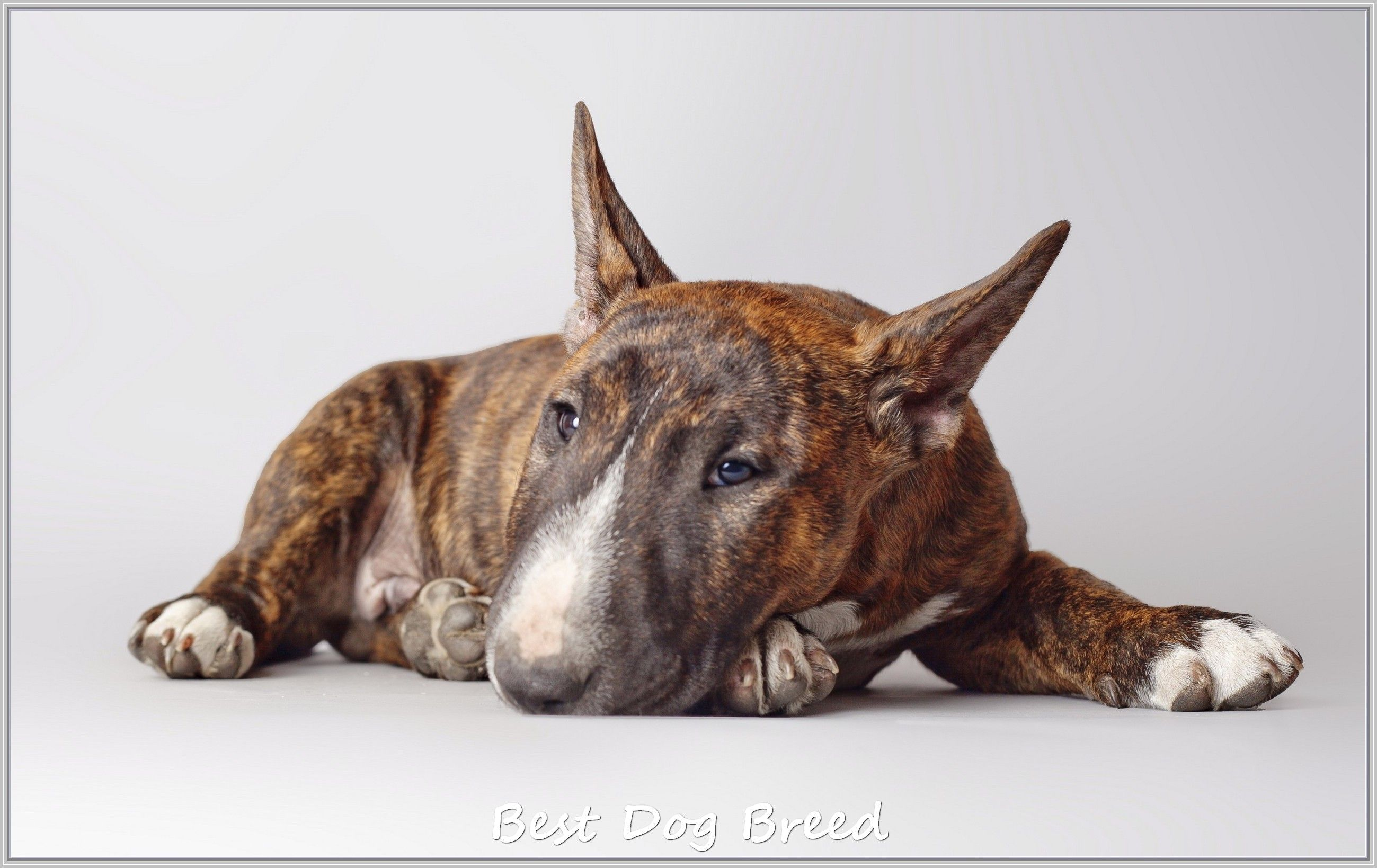Repairing Problems Related To Dogs Trasedogs English Bull Terriers Miniature Bull Terrier Mini Bull Terriers