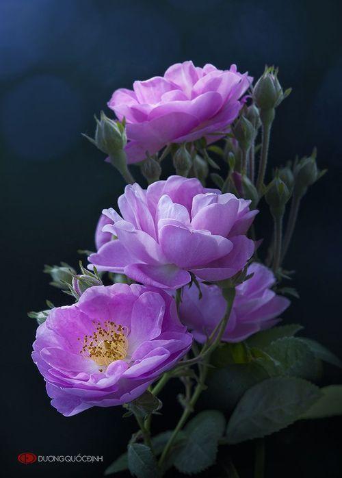 HL by Duong Quoc Dinh | 500px | Красивые цветы, Цветы
