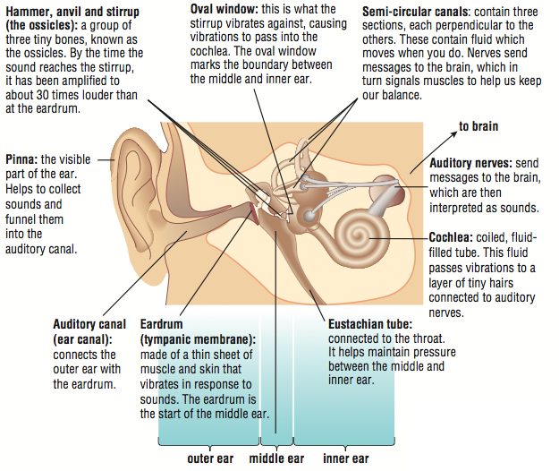 Image Result For Parts Of Human Ears And Their Functions Human