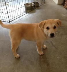 Adopt Ava On Dogs Golden Retriever Adoption Animal Shelter