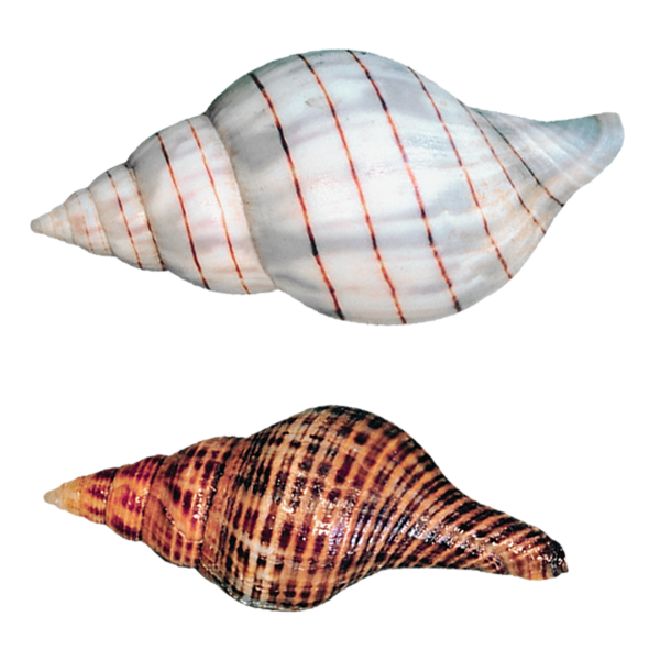 Transparent Sea Snails Shells Png Picture Sea Snail Snail Shell Shells
