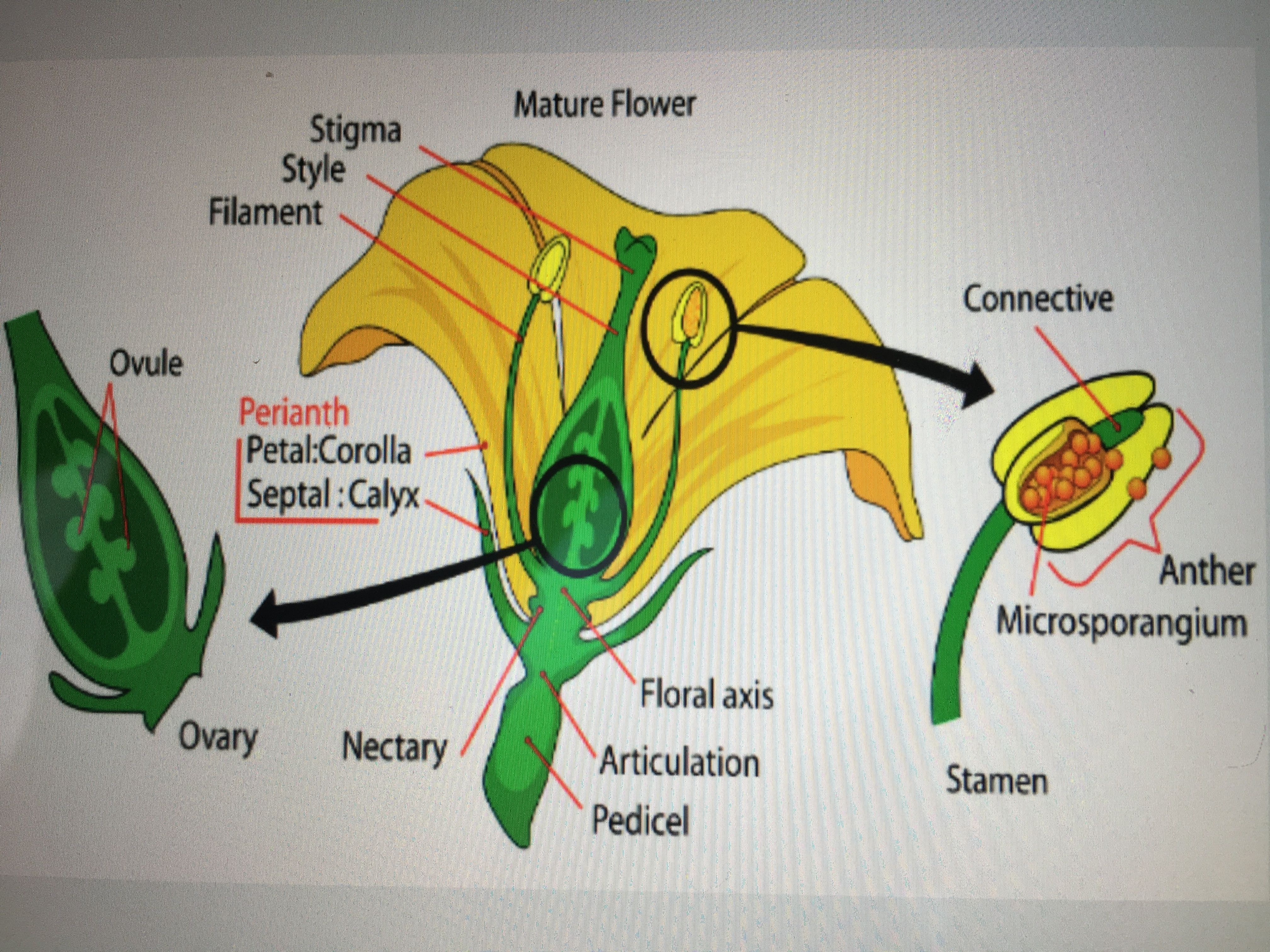 Flower Parts of a flower, Diagram of a flower, Planting
