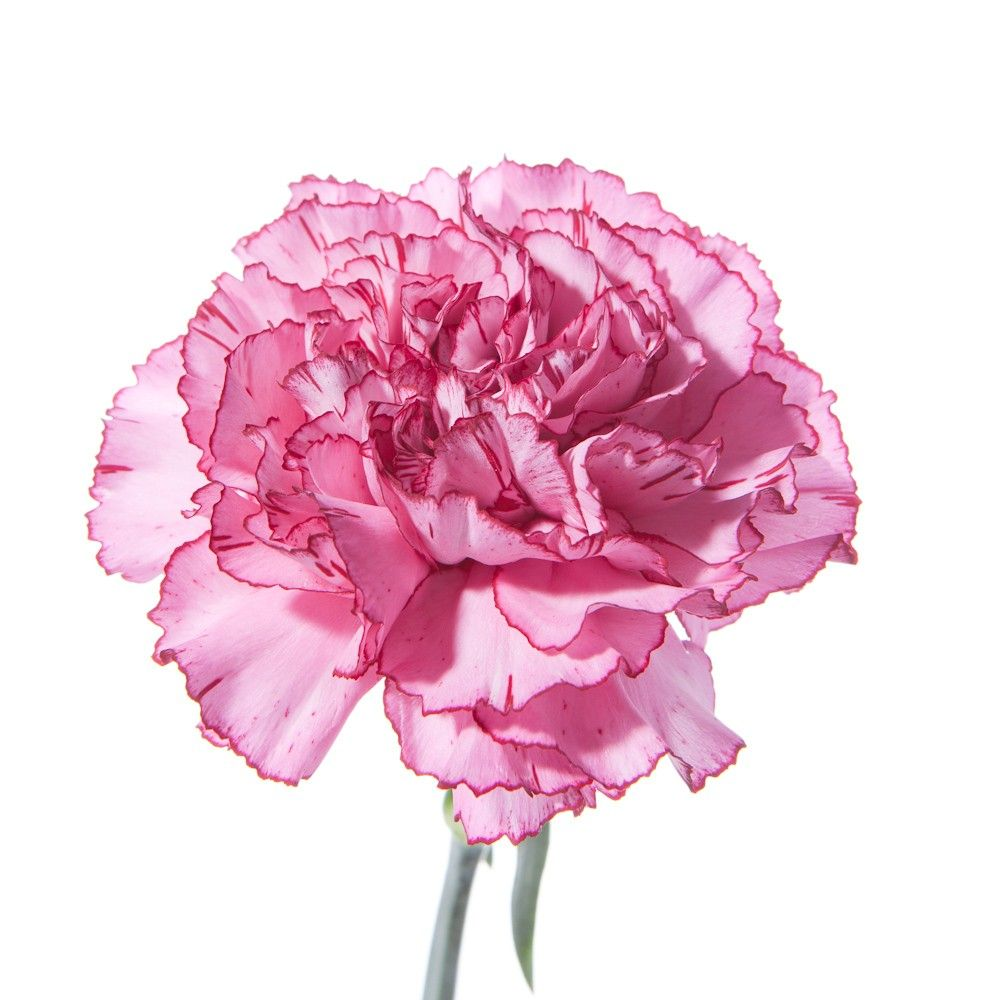 Send Flowers Flower Bouquets Wholesale Flowers Pink Carnations Carnation Flower Carnations