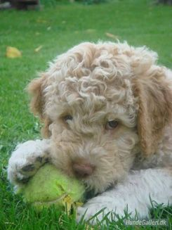 Italian Lagotto Romagnolo Really want one of these