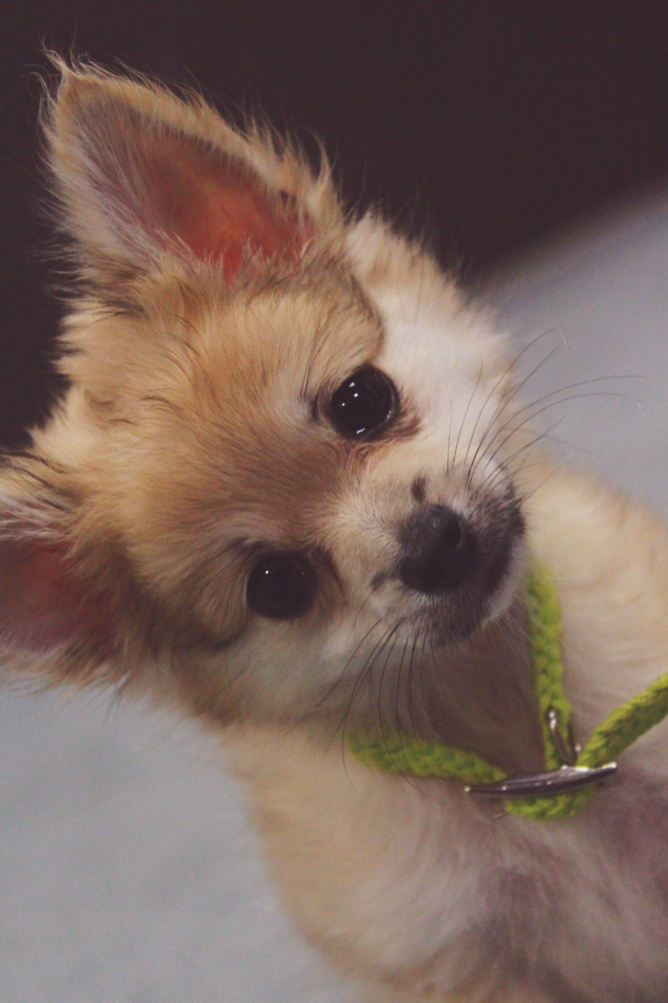 my pomchi puppy snickerspomeranian chihuahua