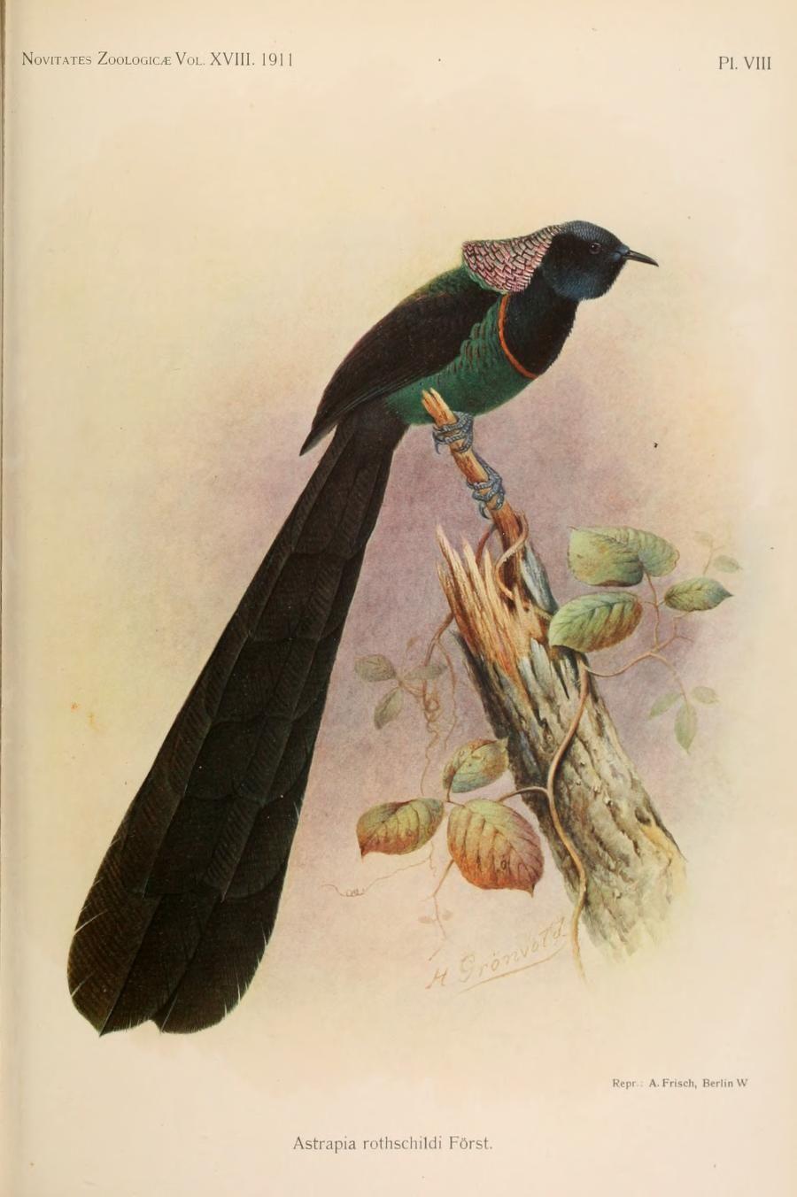 v. 18 (1911) - Novitates Zoologicae. - Biodiversity Heritage Library
