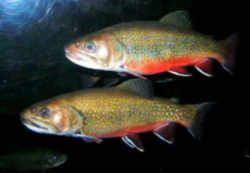 New York State Fish Brook Or Speckled Trout Fish Freshwater