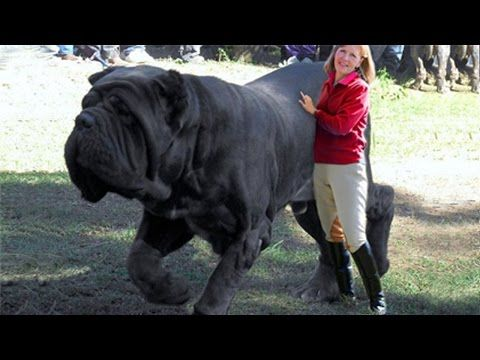 15 Biggest Dogs In The World Big Dogs Best Guard Dogs Giant Dog Breeds